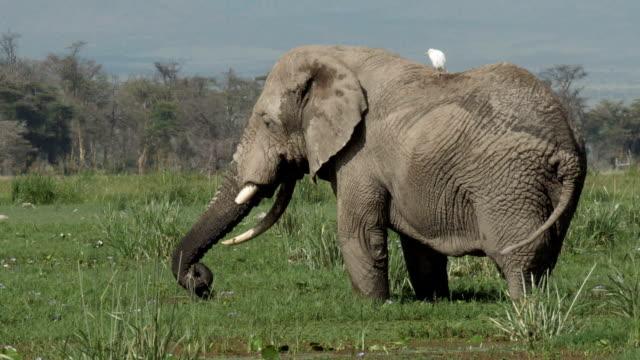 vídeos y material grabado en eventos de stock de elefant in amboseli - animales salvajes