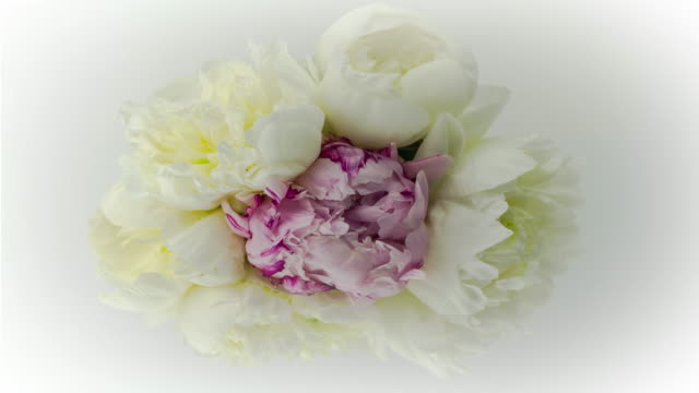 Elegant Blooming Flower Bouquet of White and Purple Peony Flowers.
