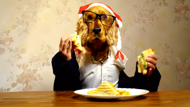 elegant dog eating with human hands - spaniel stock videos and b-roll footage