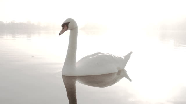 elegant swan on a misty lake - mute swan stock videos & royalty-free footage