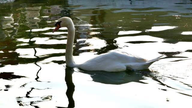 Elegant Swan On A Misty Lake