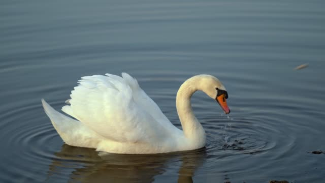 elegant swan on sunset lake - cigno video stock e b–roll