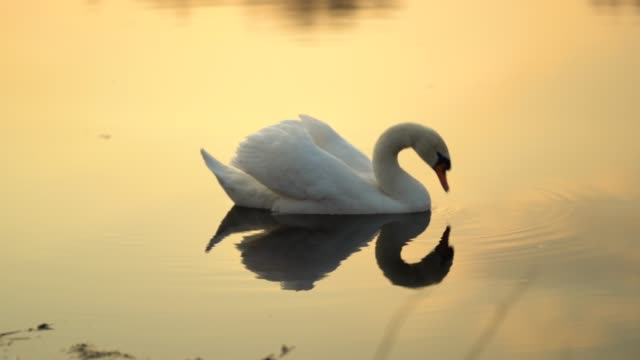 elegant swan on sunset lake - swan stock videos and b-roll footage
