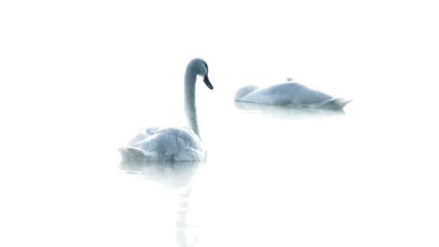 elegant swans on a misty lake - swan stock videos & royalty-free footage