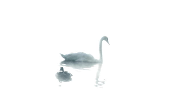 Elegant Swans On A Misty Lake