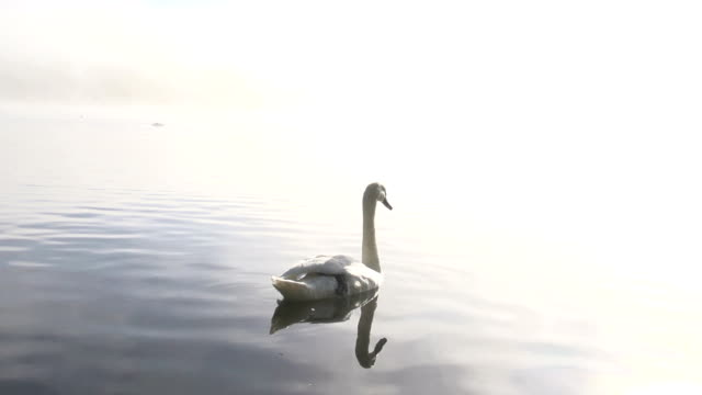 elegant swans on a misty lake - swan stock videos and b-roll footage