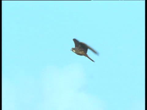eleonora's falcon flying, morocco - falcon bird stock videos & royalty-free footage