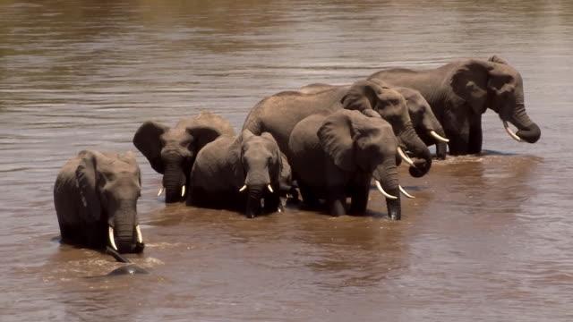 Elephant adults wait patiently as calves play in Mara River, Kenya