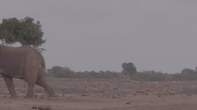 vidéos et rushes de elephant / africa - plaque de montage fixe