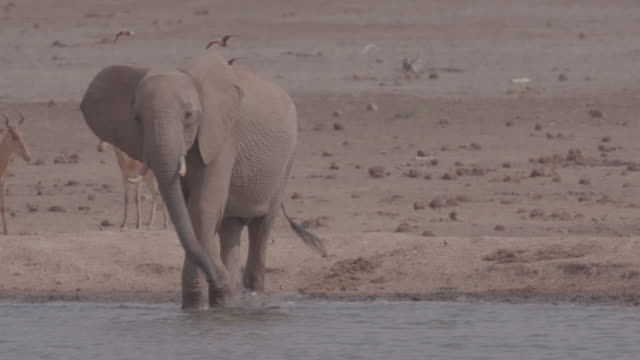 elephant / africa - 草食性点の映像素材/bロール