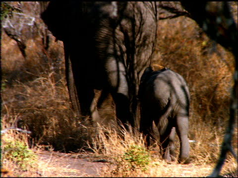 Elephant and calf walk through bush land away from camera, with tails swaying, Botswana
