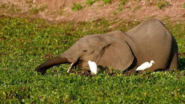elephant and cattle egrets - heron stock videos & royalty-free footage