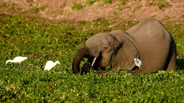 elephant and cattle egrets - erbivoro video stock e b–roll