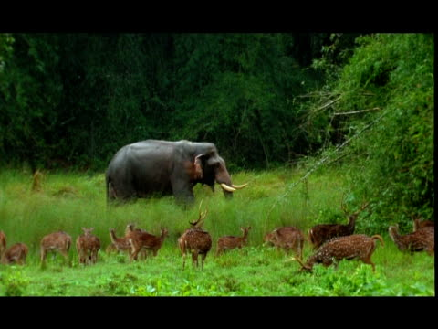 Elephant (Elephas maximus) and Chital (Axis axis) deer in rain, Nagarahole, Southern India
