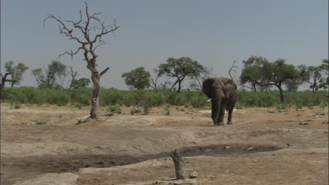 elephant approaches waterhole, botswana - 厚皮動物点の映像素材/bロール