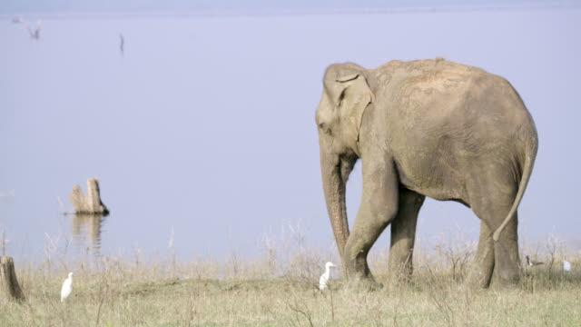 ms elephant at riverside,sri lanka - sri lanka stock videos & royalty-free footage