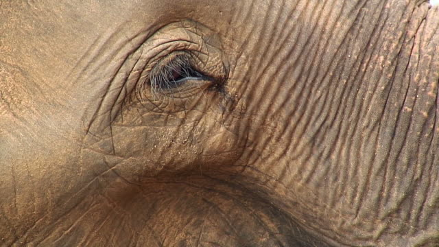 cu elephant blinking eye, pinnewala, sri lanka - sri lanka stock videos and b-roll footage
