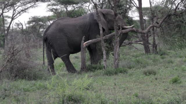 elephant broke a tree - elephant stock videos & royalty-free footage
