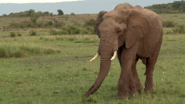 elephant bull walking and grazing, kenya - bulle männliches tier stock-videos und b-roll-filmmaterial