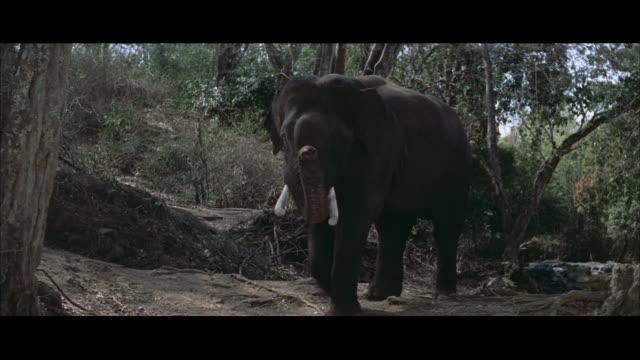 vídeos de stock e filmes b-roll de ms elephant bull walking with raising trunk - nariz de animal