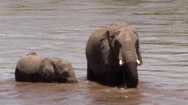 Elephant calf and sister drink from Mara River, Kenya