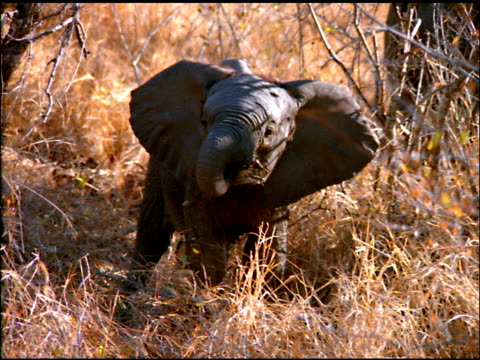 Elephant calf eats leaves by gathering them with trunk in bush land, Botswana
