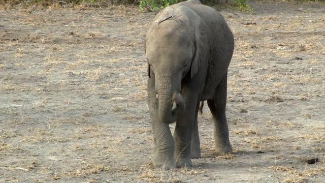 Elephant calf kicking dried grass, Amboseli National Park, Kenya