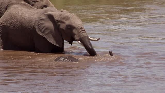 Elephant calf snorkling and playing in Mara River, Kenya