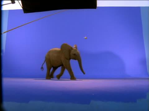 Elephant calf walking across the screen