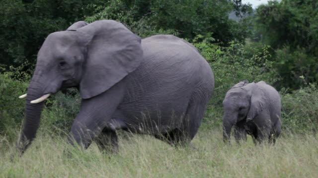 ms elephant calf walking behind mother through grassland / kruger national park, mpumalanga, south africa - national grassland stock videos & royalty-free footage