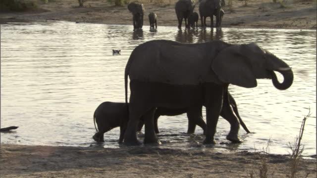 vídeos de stock e filmes b-roll de elephant calves stay close to their mother as they wade near the edge of a river. available in hd. - nariz de animal