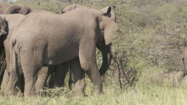 ms pan elephant carrying big branch in mouth and walking / tanzania  - gruppo medio di animali video stock e b–roll