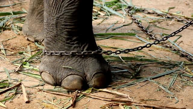 elephant chained - gefangener stock-videos und b-roll-filmmaterial