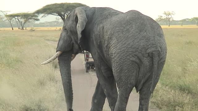 vídeos y material grabado en eventos de stock de ms pan elephant crossing dirt road, safari tourists in background, serengeti, tanzania - safari