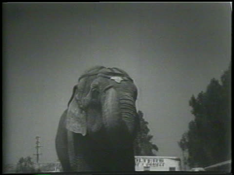 b/w 1954 elephant curling trunk / newsreel - 1954 stock videos and b-roll footage