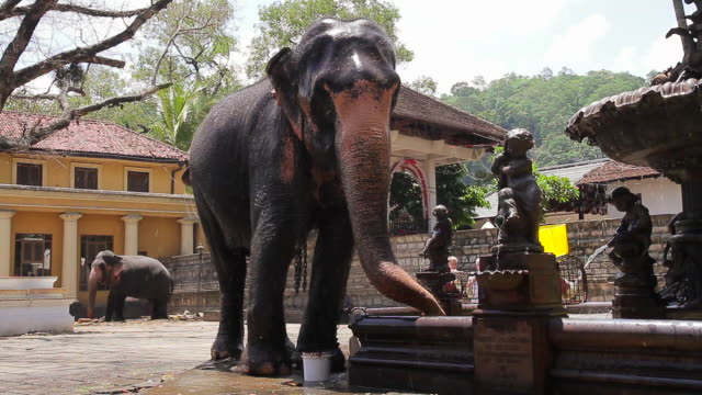 vidéos et rushes de ms elephant drinking and splashing itself with water from a fountain / kandy, central province, sri lanka - sri lanka