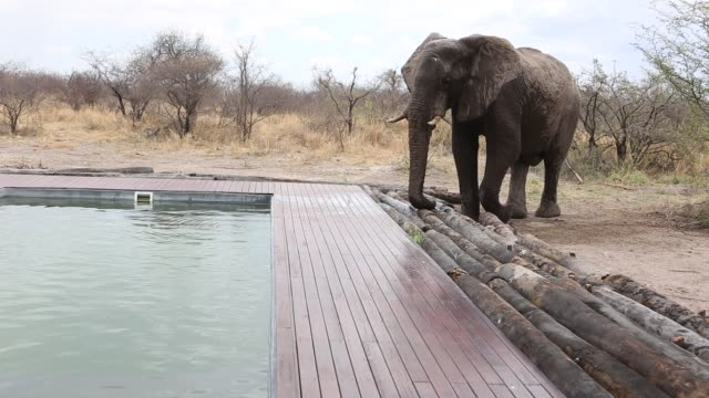 elephant drinking water from pool