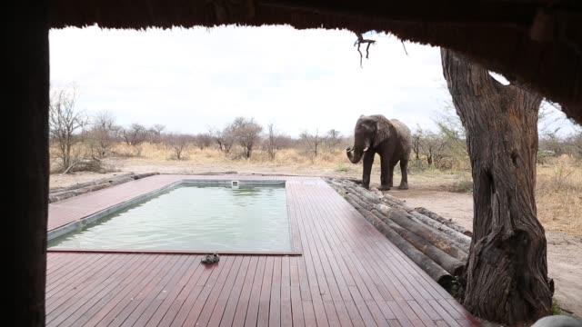 elephant drinking water from pool - tierische nase stock-videos und b-roll-filmmaterial