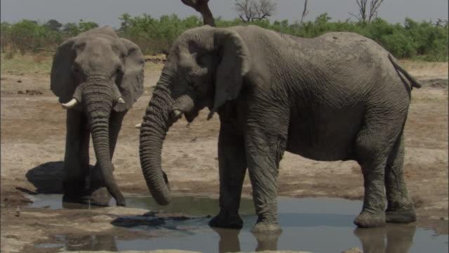 elephant drinks from spring in waterhole, botswana - 厚皮動物点の映像素材/bロール