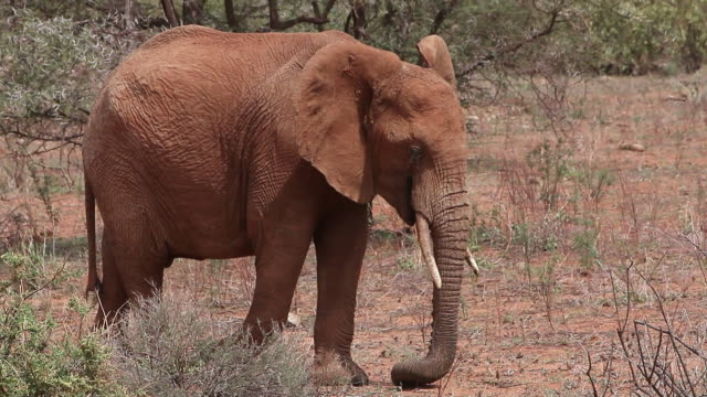 ms ts elephant eating and walking through savanna / national park, africa, kenya - herbivorous stock videos and b-roll footage
