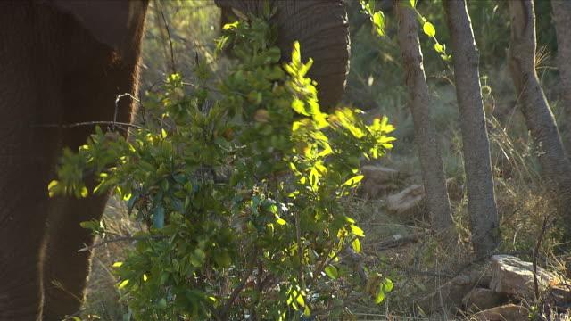 vídeos de stock e filmes b-roll de ms tu elephant eating from tree / etosha national park, kunene, namibia - nariz de animal