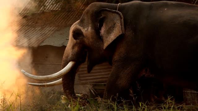 elephant eating grass