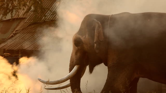 elephant eating grass - animal ear stock videos & royalty-free footage