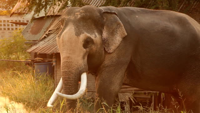 elephant eating grass - animal nose stock videos & royalty-free footage