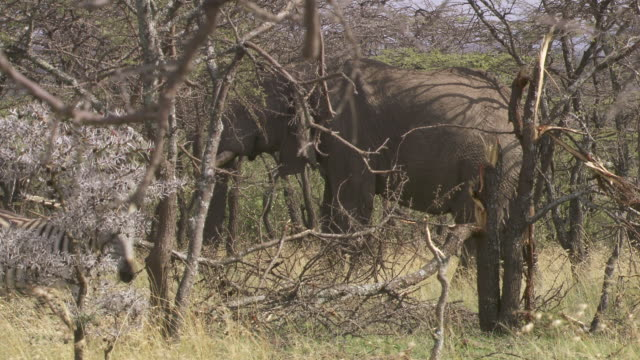 stockvideo's en b-roll-footage met  ms elephant eating tree  branches / tanzania - kleine groep dieren
