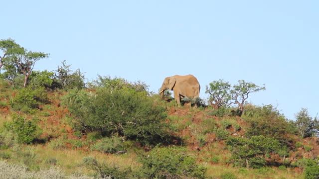 stockvideo's en b-roll-footage met ms elephant eating vegetation on hills / darmaland, kunene, namibia - wiese