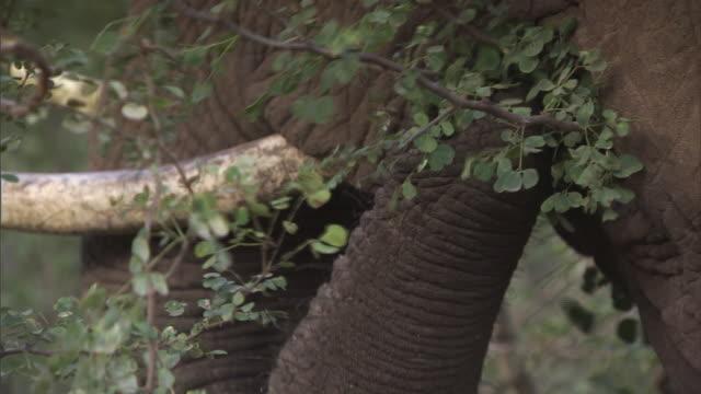 ecu elephant eating vegetation / tanzania  - 草食性点の映像素材/bロール