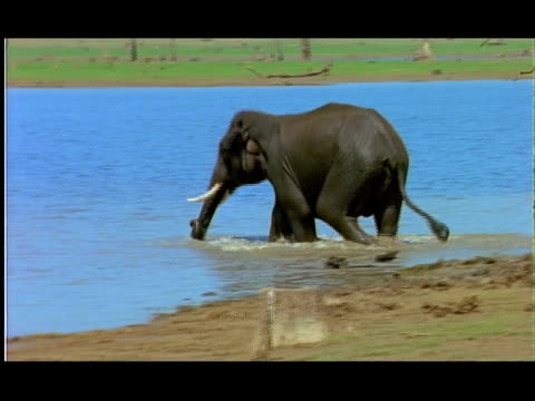 stockvideo's en b-roll-footage met elephant (elephas maximus) entering water and playfighting with another, nagarahole, southern india - neus van een dier