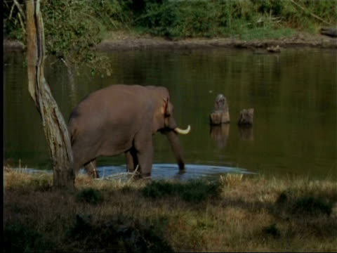 elephant (elephas maximus) entering water in indian rainforest - naso di animale video stock e b–roll