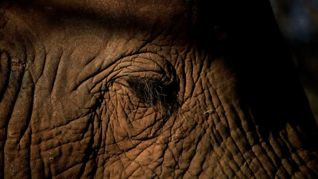 elephant eye and textured skin in late afternoon sunlight/ kruger national park/ south africa - krüger nationalpark stock-videos und b-roll-filmmaterial